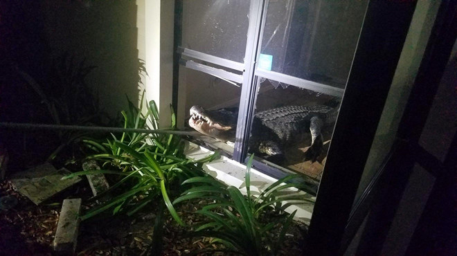 Cá sấu dài 4 m phá cửa sổ đột nhập nhà dân ở Florida