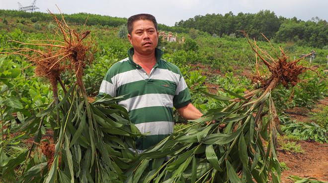 Nhổ hơn 3.000 m2 keo trồng của dân, chính quyền xã nói do nhầm tên