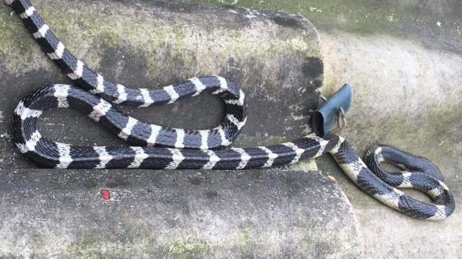 Bé trai 20 ngày tuổi bị rắn bò lên giường cắn chết