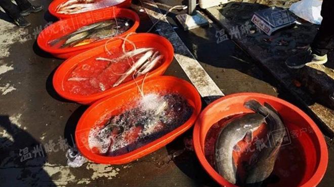 Phù phép cá sắp chết thành cá tươi bằng dầu diesel ở Trung Quốc