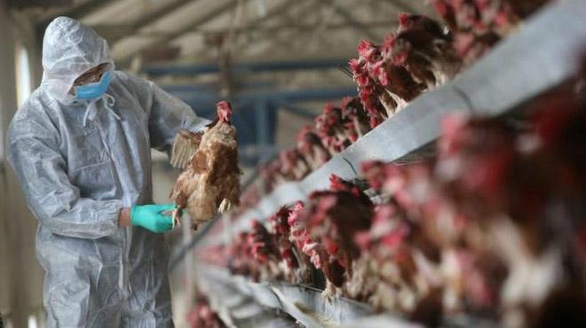 Cúm gà H5N1 bùng phát tại Hồ Nam giữa đại dịch corona