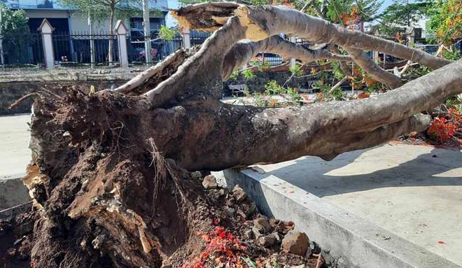 Thêm cây phượng bật gốc trong sân trường