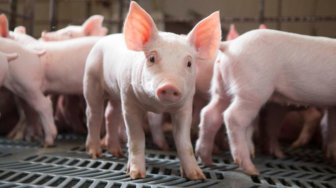 Hà Nội cấm nuôi lợn, gà ở 12 quận từ 1/8